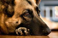 Foto Malattie del cane anziano