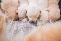 Foto Problemi al seno della cagna dopo il parto