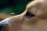 Foto Vespe, zecche e pulci: punture di insetti nei Cani