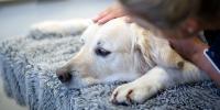 Foto Piometra del Cane: cause e trattamento