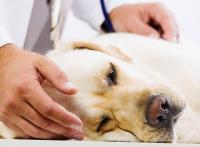 Foto Dilatazione e torsione dello stomaco nel Cane