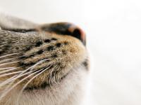 Foto Perchè il gatto ha il naso freddo?