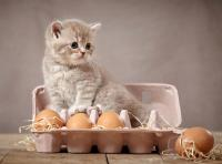 Foto Il gatto può mangiare uova?