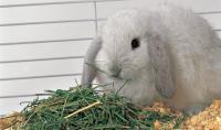 Foto Alimentazione del Coniglio nano