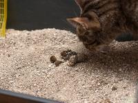 Foto Vermi nel Gatto: i sintomi