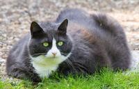 Foto Pericoli per il Gatto grasso