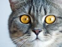 Foto Malattie del fegato nel Gatto