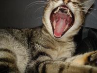 Foto Stomatite nel Gatto: sintomi e trattamento