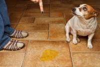 Foto Incontinenza urinaria nel Cane: cause, sintomi e cure