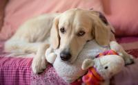 Foto Sintomi  della gravidanza psicologica o isterica nel Cane