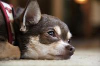 Foto Sintomi e trattamento dell'anemia nel Cane