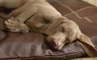 Foto Attacco epilettico nel cane: cause, sintomi e trattamento