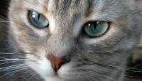 Foto Infezione agli occhi del Gatto: cause e trattamento