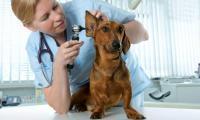 Foto Infezione dell'orecchio nei cani: cause, sintomi e trattamento
