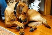 Foto Disinfettare una ferita del Cane
