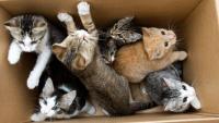 Foto Come capire se il gatto è maschio o femmina?