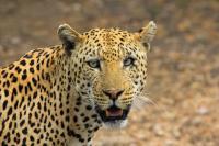 Foto Differenza tra leopardo e ghepardo