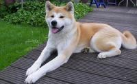 Foto Akita inu: caratteristiche e carattere