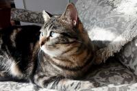 Foto Infezione utero gatto (piometra): cause, sintomi e trattamento