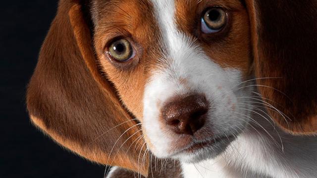 Malattie agli occhi nel Cane