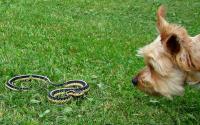 Foto Yorkshire salva il suo padrone da serpente