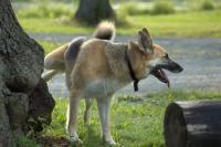 Foto Tracce di sangue nelle urine del cane: le possibili cause