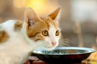 Foto Diabete nel Gatto: cosa fare?
