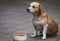 Foto Stimolanti dell'appetito per il Cane