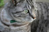 Foto Creatina alta nei Gatti: sintomi e trattamento