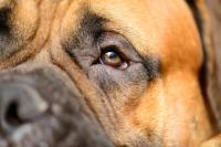 Foto Pupille dilatate nel Cane (Anisocoria)