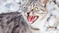 Foto Perchè il Gatto sibila?