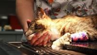 Foto Tumore al testicolo nel Gatto (seminoma)