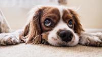 Foto Antistaminici per Cani: quale scegliere?
