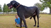 Foto Cane più grande del mondo?