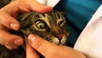 Foto Tumore al fegato nel Gatto: sintomi e cure