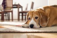 Foto Perchè il cane si lecca i genitali?