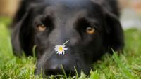 Foto Allergia di primavera nei Cani