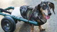 Foto Il mio cane è paralizzato: cosa posso fare?