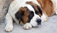 Foto Prurito anale nel Cane: cause e trattamento