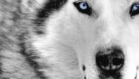 Foto Perché i cani Husky hanno gli occhi azzurri?