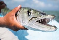 Il pesce Barracuda: caratteristiche e foto