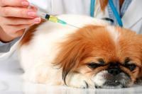 Foto Il Cane ha il diabete: cause e cure