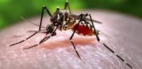 Quanto vivono le zanzare?