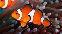 Pesce pagliaccio: caratteristiche, cure e alimentazione