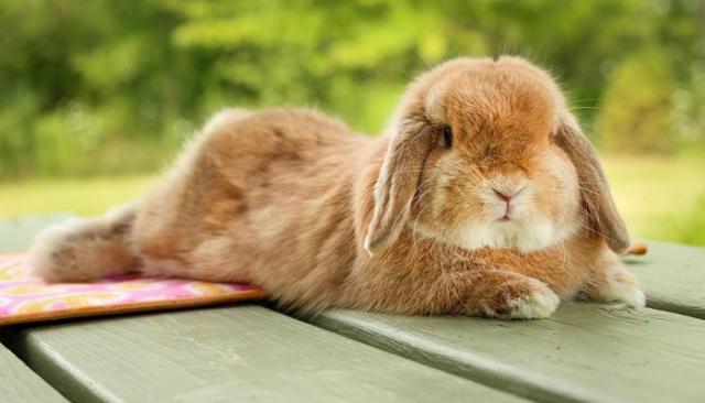 Foto 13 razze di Conigli nani più belli