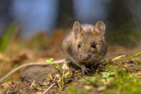 Quanto vive un ratto?