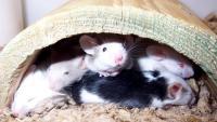 Foto Quanto vive un topo?