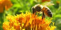 Foto Quanto vivono le api?