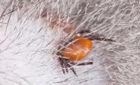 Foto Disinfettare morso di zecca nel Cane