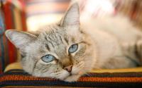 Foto Tumore vescica nel Gatto: cause, sintomi e cure